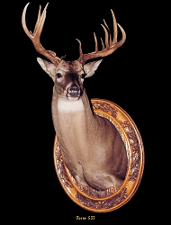 Whitetail Taxidermy Form 537 at Foster Taxidermy Supply